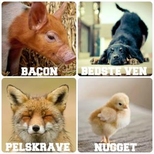 Men hvorfor?! Her er fire billeder af fire individer af forskellige arter: En gris, en hund, en ræv og en kylling. Mærkaterne har jeg sat på ud fra, hvad vi bruger dem til. Disse fire individer er forskellige på mange områder, men har også en del ting til fælles. De har blandt andet det til fælles, at de alle sammen har, eller kunne have haft, en familie. Både en gris, en hund, en ræv og en kylling har en mor og familie. De har også det til fælles, at de er sociale individer, der knytter tætte bånd til andre og er stærkt afhængige af sociale relationer. De har også det til fælles, at de er sansende individer, der kan føle både glæde og smerte. De kan lege og underholde sig selv, og de kan føle både fysisk og mental smerte, når de udsættes for vold eller fratages basale behov. Disse fire individer har endvidere det til fælles, at de har en klar præference for at leve og leve i frihed. De er ikke skabt til at underholde dig eller dine smagsløg, og de har ikke selv valgt det mærkat, de bærer. Det er udelukkende vores traditioner, der bestemmer, at en gris er bacon, mens en hund er en legekammerat, og der er ingen logik bag det. De fleste mennesker i vores kultur har i dag så meget medfølelse for hunde, at de vil kæmpe for deres ret til at leve trygt og godt. Samtidig udsætter de samme mennesker grise for vold, der gør, at de ender på deres aftensmadstallerkner. Det kan vist bedst betegnes som moralsk skizofreni, for der er absolut intet logisk argument for, at det skulle være ok at udsætte den ene art for lidelse og død, når det samme ikke gør sig gældende for den anden. Hvis det ikke er i orden at indespærre og dræbe en hund, så er det heller ikke acceptabelt for en gris. De fleste mennesker i vores kultur taler også gerne imod pels. Det er efterhånden almindeligt accepteret, at pels er klamt, fordi det er overflødigt og indebærer en hel del lidelse for dyrene. Samtidig går disse mennesker dog gerne i læder og uld, som indebærer at køer og får udsættes for samme lidel